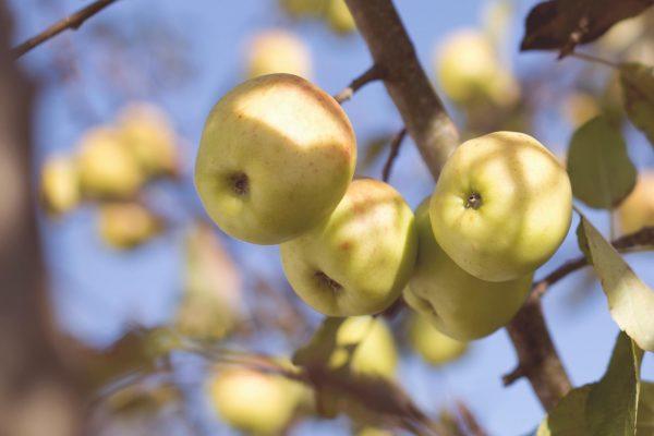 Taille de fruitier